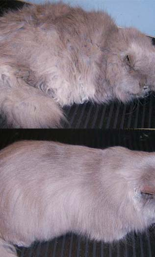 Persian Cat After Full Cat Grooming With J. P. Mitchell Shampoo