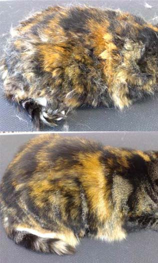 Tortoiseshell Feline - Full Cat Grooming, Wet Bath With Conditioning Shampoo