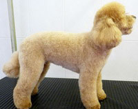 Peaches Poodle - Teddy Bear Hair Style