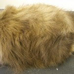 Long Haired Cat after Full Grooming with coat conditioner