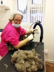 Della Cassidy on the Basic Cat Grooming Course at Pet Universe